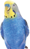An image of a budgie