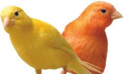 An image of a pair of Canaries