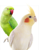 An image of a Parakeet and a Cockatiel