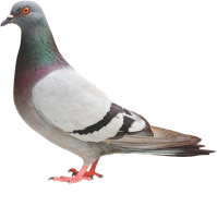 An image of a Pigeon