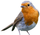 An image of a Robin