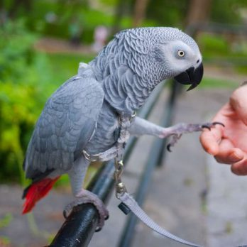 parrot_harness